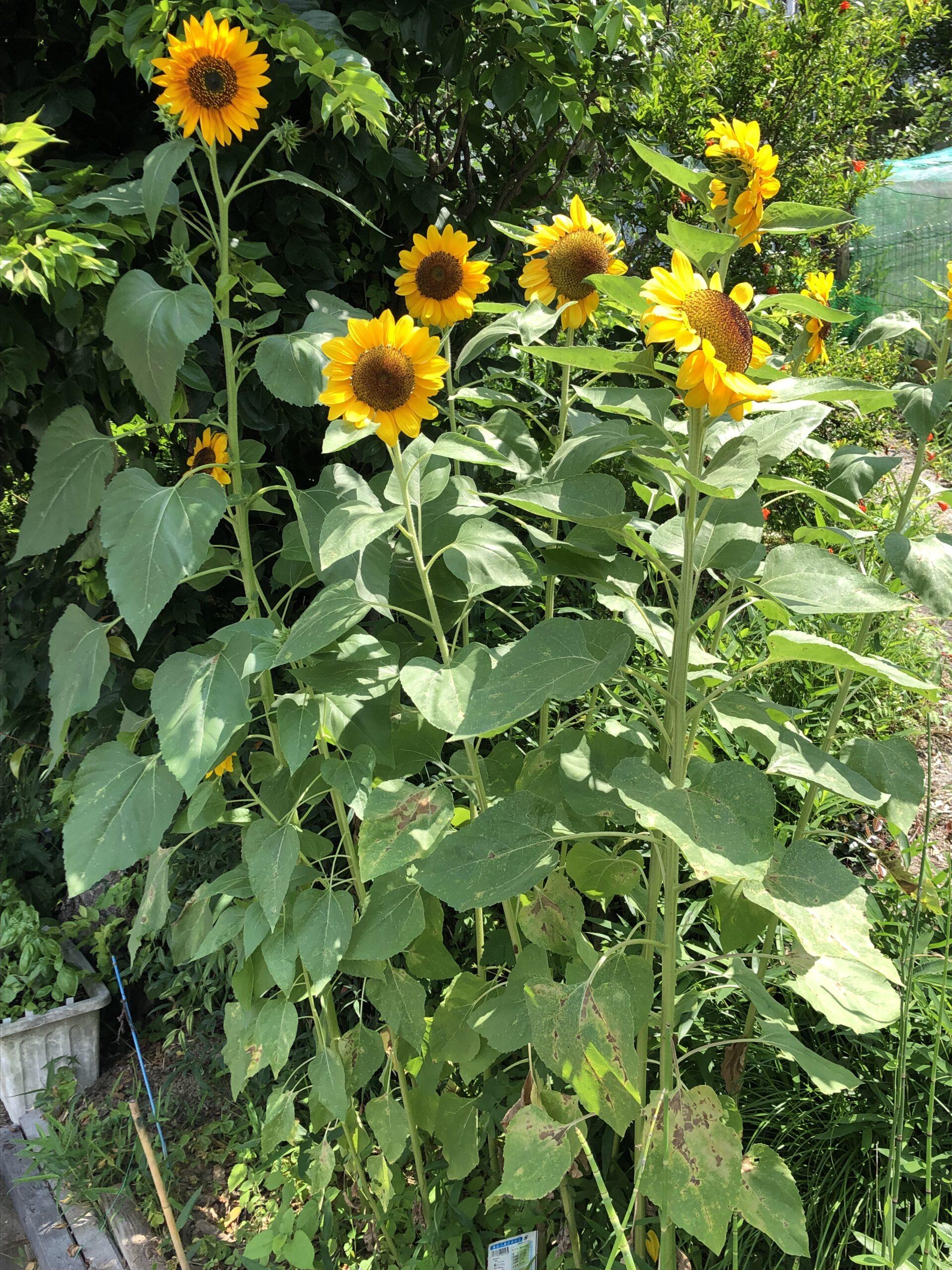 ―向日葵—